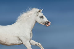 White horse in motion Stock Images