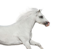 White horse in motion Royalty Free Stock Photo