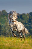 White horse in motion Royalty Free Stock Images