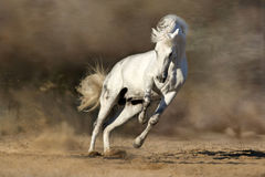 White horse in motion Stock Image