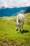 White horse on mountain pasture Royalty Free Stock Images