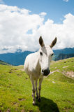 White horse on mountain pasture Royalty Free Stock Photography