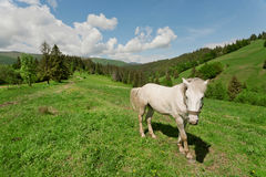 White horse on the mountain pasture. Rural landscape in the mountain valley Stock Image