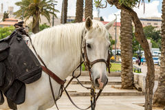 White horse. Of mounted police the outdoors of Jerusalem. Close-up Stock Images
