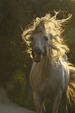 White horse move hair. Under sun Royalty Free Stock Photography