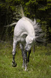 White horse move hair. White horse on meadow near forest Royalty Free Stock Image