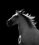 White horse moving in the dark Stock Photos