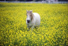 White horse in mustard field, springtime, Ojai, CA Stock Images