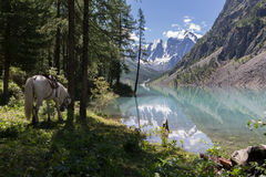 White horse near the beautiful Shavlinsky lake. White horse near the beautiful Shavlinsky lake, Altay, Russia Stock Image