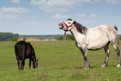 White horse neigh Royalty Free Stock Image