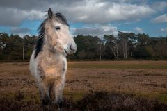 White horse in New Forrest. White horse eating top of the bushes in New Forrest national park, in Hampshire , United Kingdom stock photos