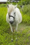 White Horse nibble on grassland. Thailand Royalty Free Stock Photos
