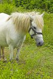White Horse nibble on grassland. Thailand Stock Images