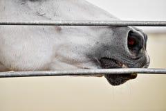 White horse nose detail Stock Image