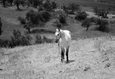 White horse in the olive grove in Zahara de La Sierra Stock Image