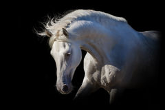 Free White Horse On Black Royalty Free Stock Photos - 59783468
