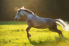 White horse Orlov trotter play in the sunset light. White horse Orlov trotter, play in the sunset light Royalty Free Stock Image