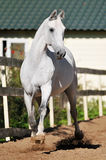 White horse Orlov trotter runs trot. Freedom in summer Stock Photo