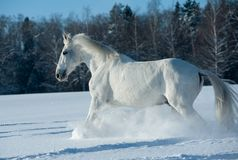 White horse the Orlov trotter Stock Photo
