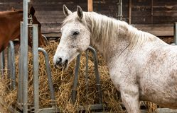 Free White Horse Outside That Is Eating Hay In A Farm Stable Royalty Free Stock Photo - 145962035