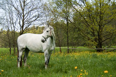 White Horse in the paddock Royalty Free Stock Photos