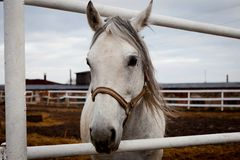 White horse in the paddock Royalty Free Stock Image