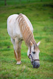 White horse in pasture. White horse grazing. vertical composition Stock Image