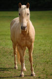 White Horse in Pasture Stock Image