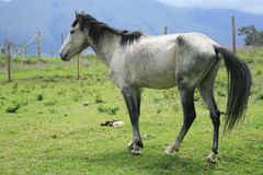 White Horse in a Pasture Royalty Free Stock Image