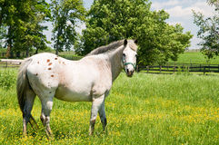 White horse in pasture. A view of a white horse grazing in a small field or pasture Royalty Free Stock Photography