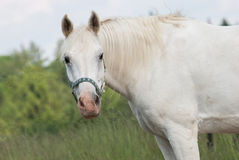 White Horse on Pasture with Head Held High Royalty Free Stock Photography