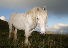 White horse at pasture Stock Image