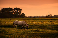 White horse on pasture at sunrise Royalty Free Stock Image