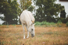 White horse is pasturing on a grass field Stock Image