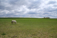 White horse pasturing on meadow Stock Photo