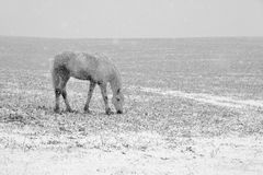 White horse pasturing in with snow Stock Photos