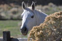 White horse peeking from Sagebrush Royalty Free Stock Images