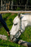 White horse in a pen. A close-up of a white horse being fed Royalty Free Stock Photography