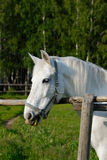 White horse in a pen. A horse in a pen eating grass Stock Images