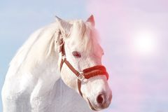 Beautiful white horse in a pen at sunset close-up royalty free stock image