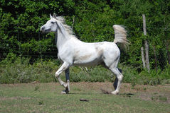 White horse performing. Full body of a female Arabian white horse running wild on the farm outdoors Royalty Free Stock Image
