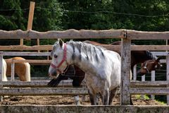 White horse with pigtails in the stable stock photography