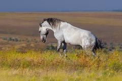 White horse play royalty free stock photography