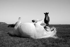 White horse playing with a black horse into the wild. On the grass, black and white photo Royalty Free Stock Images
