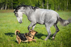 White horse playing with dog. On the meadow Stock Photos