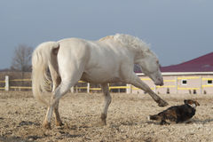 White horse playing with happy black dog in a paddock Royalty Free Stock Photography