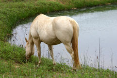 White Horse at Pond. Cream colored pregnant quarter horse broodmare, grazing beside stock pond in dried reeds on overcast summer day Royalty Free Stock Images