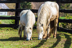 A white horse and pony in a grazing field. A white haired horse and its pony feeding in a fenced green grazing field Royalty Free Stock Images
