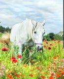 White horse in poppy field Royalty Free Stock Photos