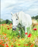 White horse in poppy field Stock Photography
